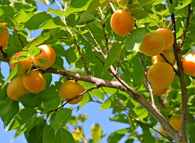 Branch of an apricot tree with ripe fruits